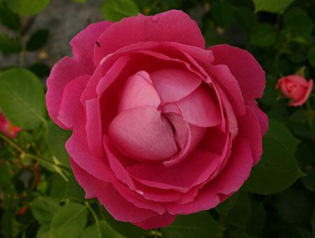 Rose à Parfum de l'Hay