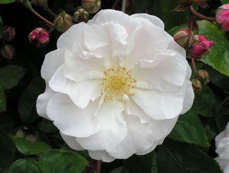 Rosa Adelaide d'Orleans