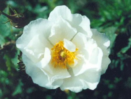 Rosa Alba Semi Plena