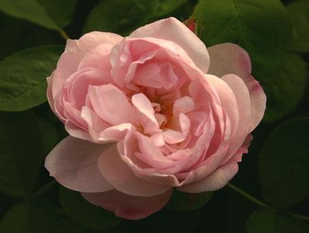Rosa Alfred de Dalmas