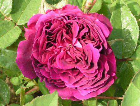 Rosa Arthur de Sansal