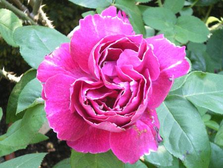 Rosa Baron Girod de l'Ain