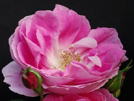 Rosa Bourbon Queen