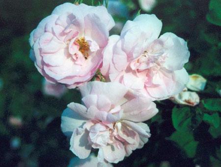 Rosa Celestial