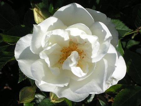 Rosa Centifolia 'Variegata'