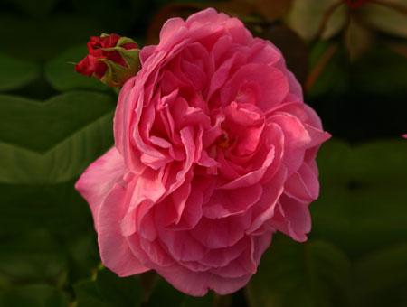 Rosa Comte de Chambord