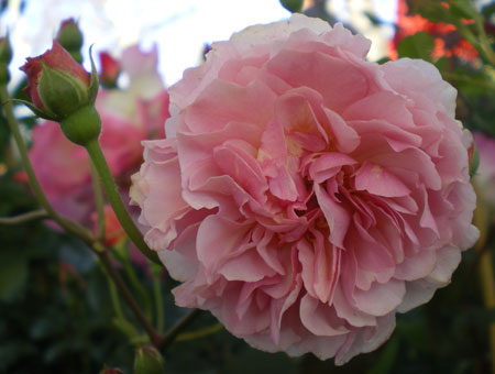 Rosa Cornelia