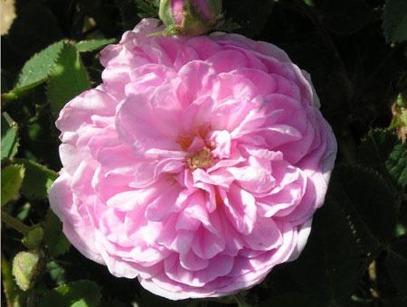 Rosa De Meaux