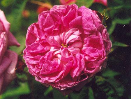 Rosa Rose du Maitre d'Ecole