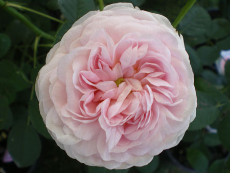Rosa Duchesse de Montebello