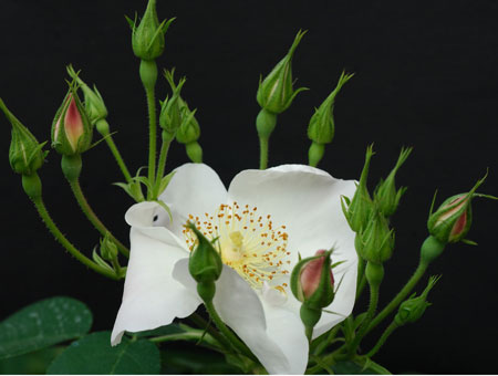 Rosa x Dupontii