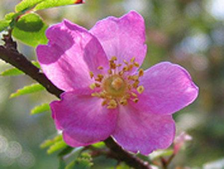 Rosa Elegantula - Persetosa