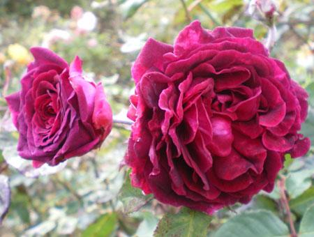 Rosa Empereur du Maroc