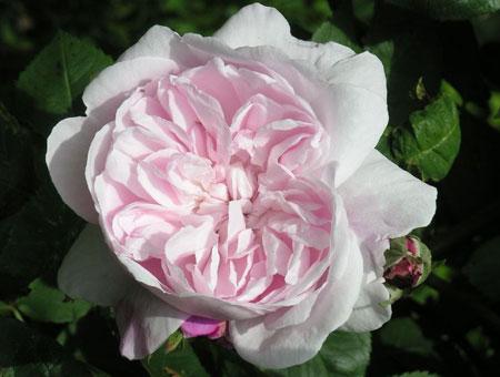 Rosa Fantin Latour