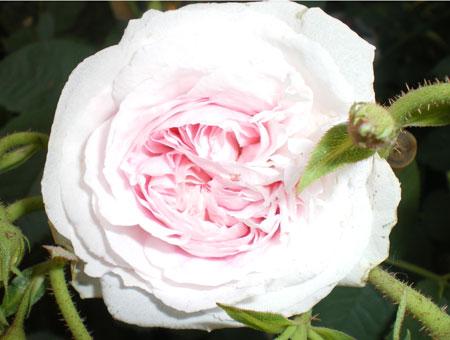 Rosa Felicite Parmentier