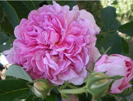 Rosa Gloire de France