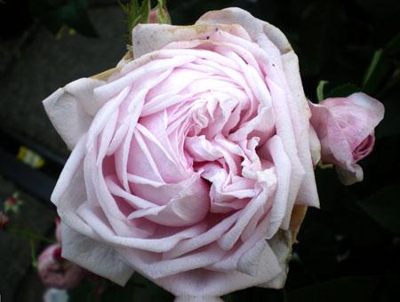 Rosa Gloire des Mousseux