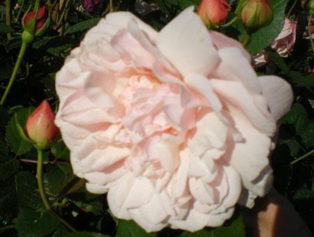 Rosa Irene Watts