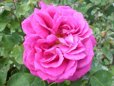 Rosa John Hopper