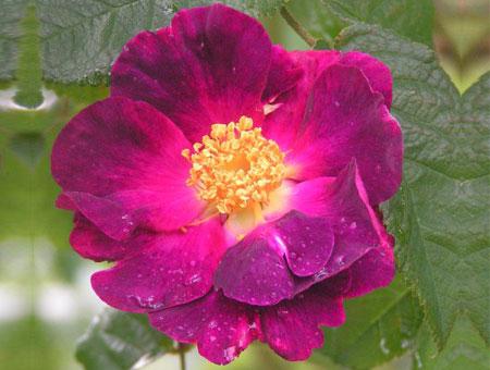 Rosa La Belle Sultane