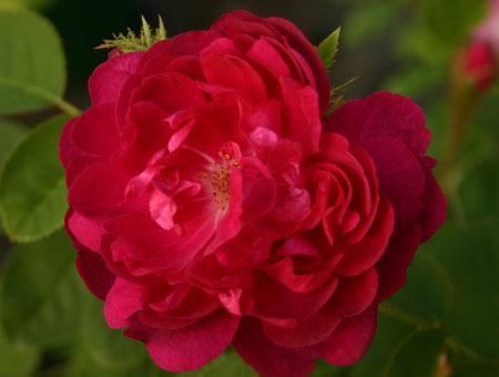 Rosa Mme de la Roche-Lambert