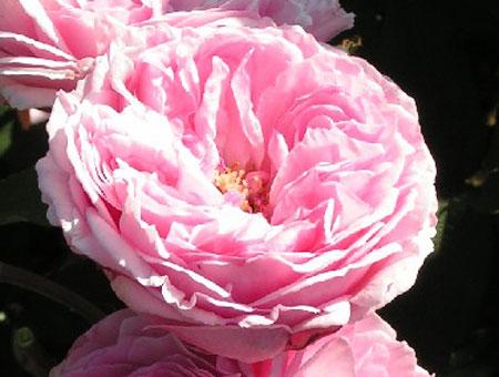 Rosa Mme Ernest Calvat