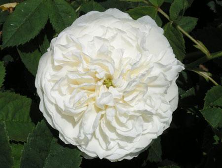 Rosa Mme Legras de St. Germain