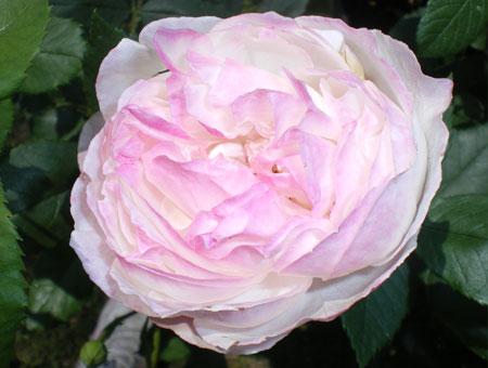 Rosa Mme Pierre Oger