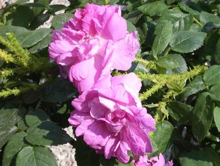 Rosa Mousseux du Japon