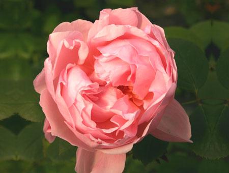 Rosa Mrs. John Laing