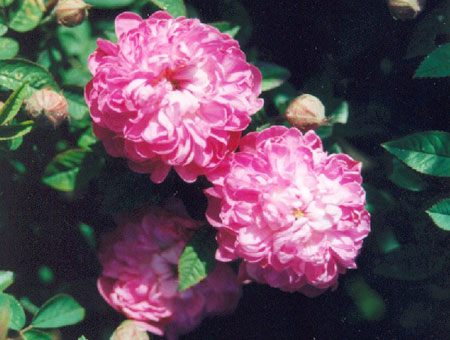 Rosa Parvifolia