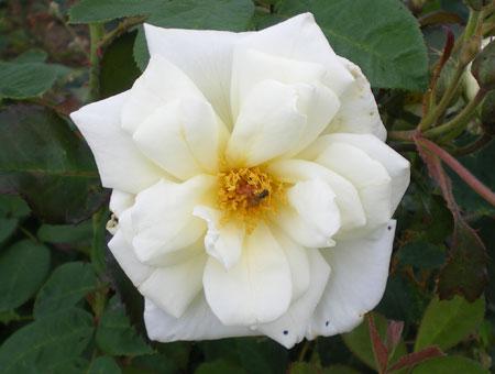 Rosa Pax