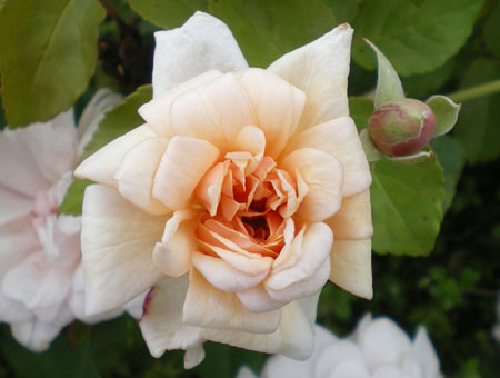 Rosa Perle d'Or