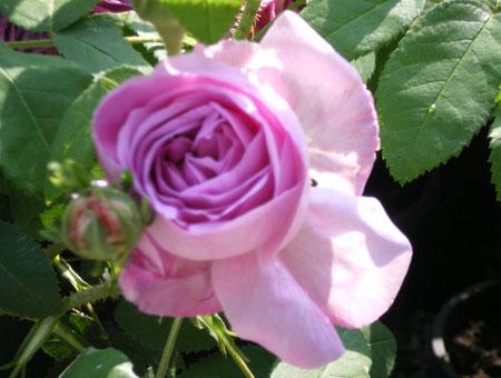 Rosa President de Seze