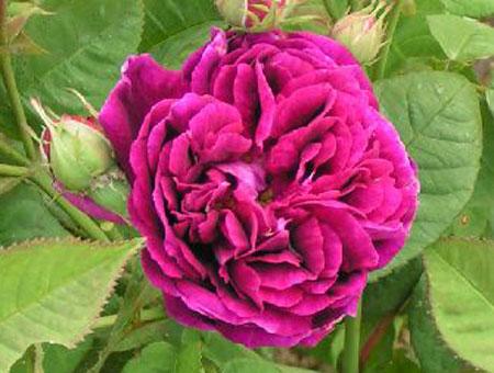 Rosa Prince Charles
