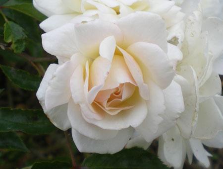 Rosa Prosperity