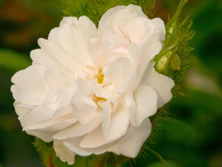 Rosa Quatre Saisons Blanc Mousseaux