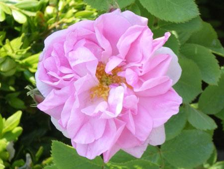 Rosa Quatre Saisons