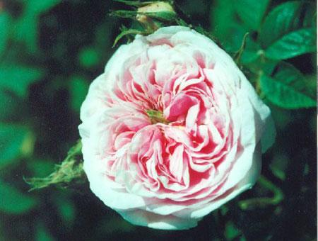 Rosa Queen of Denmark
