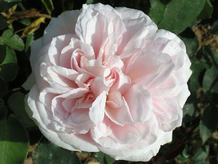 Rosa Souvenir de la Malmaison