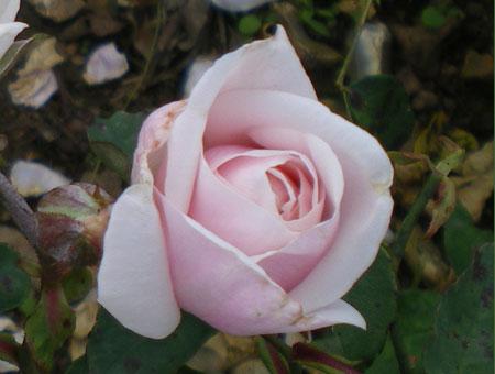 Rosa Souvenir de St. Annes