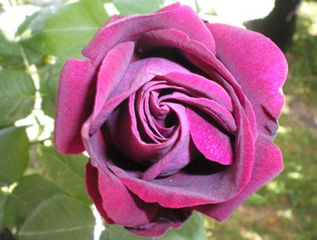 Rosa Souvenir du Dr. Jamain