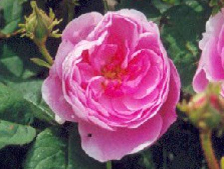 Rosa Spong