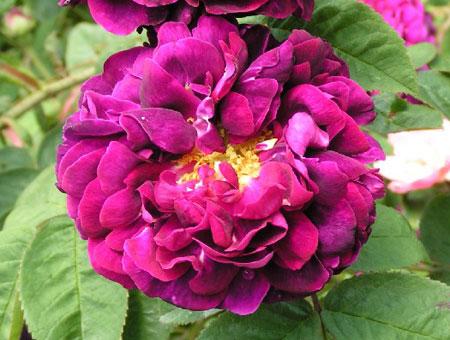 Rosa Tuscany Superb