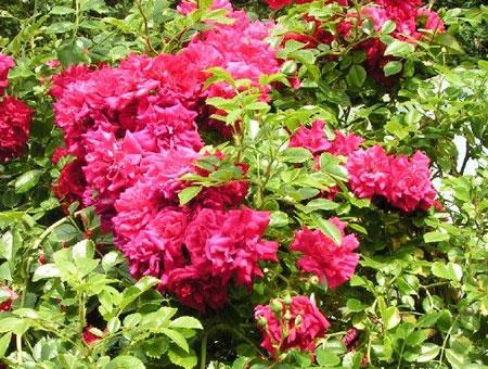 Rosa Crimson Showers