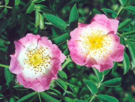 Rosa Kew Rambler