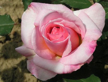 Rosa Lady Sylvia Clg.