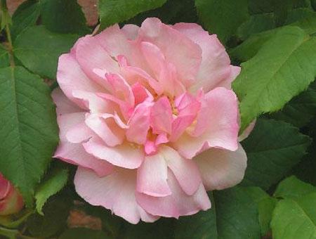 Rosa Lady Waterlow