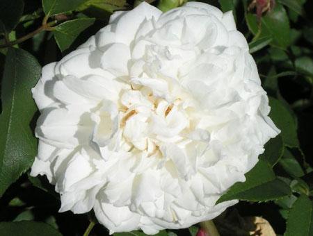 Rosa Lamarque