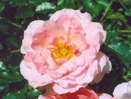 Rosa Laure Louisa